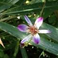 杜鵑草(ほととぎす)