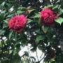 柊南天と八重の椿