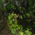 裏庭の湧水の池の縁に咲く秋海棠
