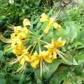 木工の作業場の前に咲く黄色い彼岸花