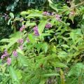 庭の奥に咲く紫式部