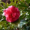 玄関脇の山茶花